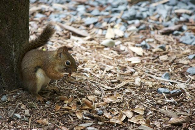 wood-squirrel
