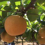 神戸観光なし園で梨狩り体験!子連れ便利アイテムとおいしい梨の見分け方