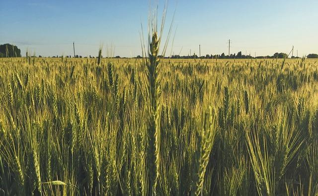 field-wheat