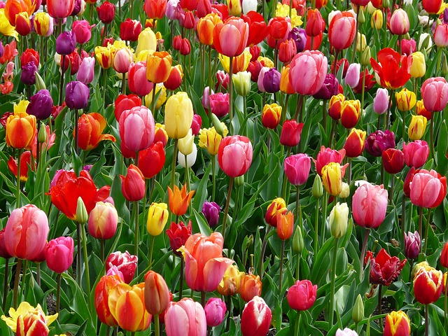 tulips-colorful